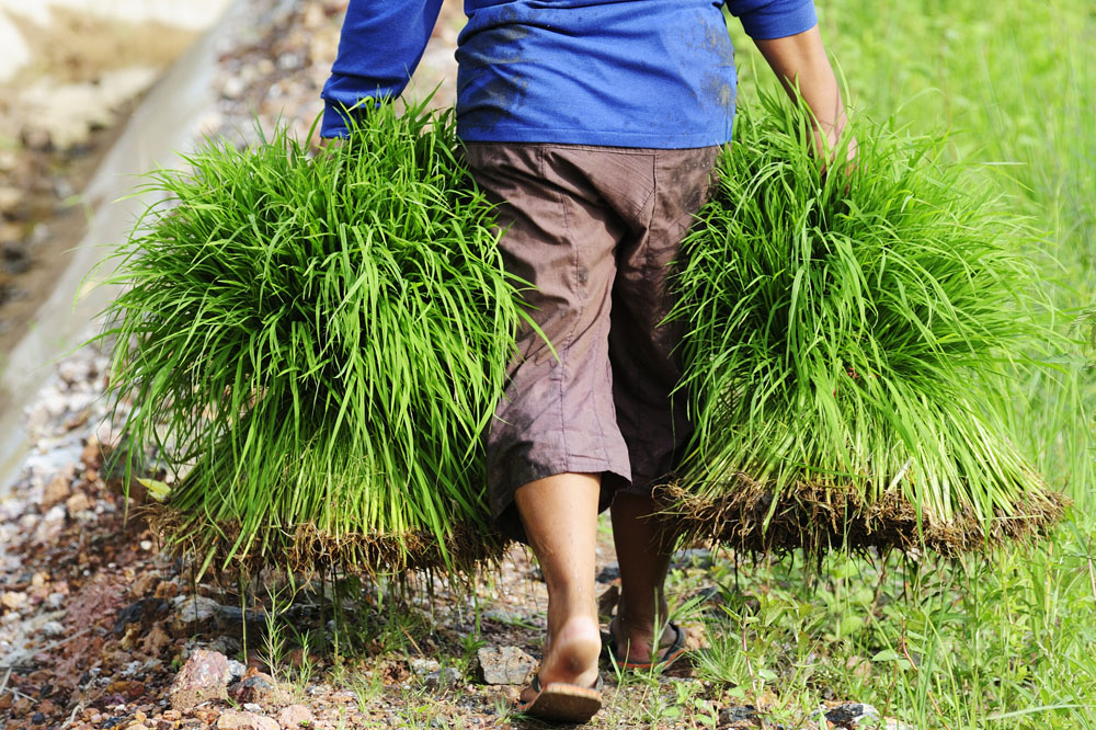 Farmer holding rice