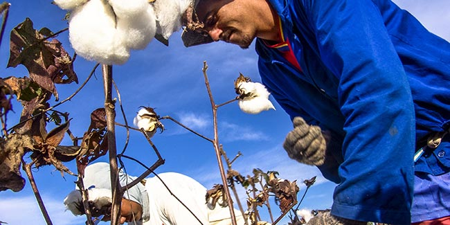 Cotton pickers in action. Illustration for the Dutch Agreement on Sustainable Garments and Textile.